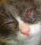 Обильные гнойные выделения из глаз у кота