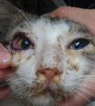 Гнойное отделяемое из глаз и хемоз у кота