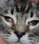 Двустороннее гнойное отделяемое, сужение глазной щели и выпадение третьего века у кота