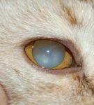 Помутнение роговицы глаза у кошки