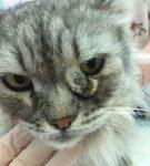 Дакриоцистит у кота