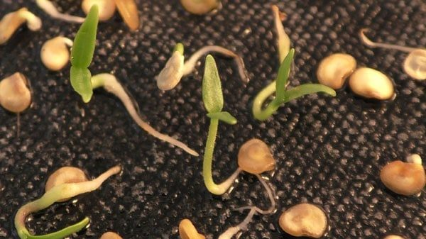 Проросшие семена перца
