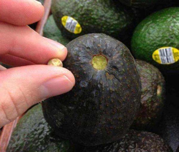 Авокадо без черенка