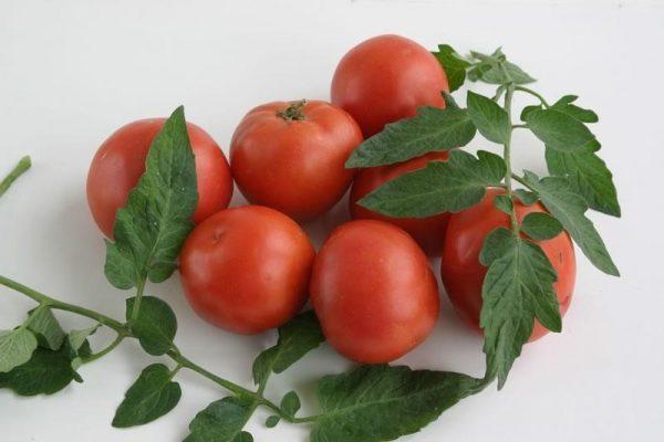 Сорт томатов Дубок