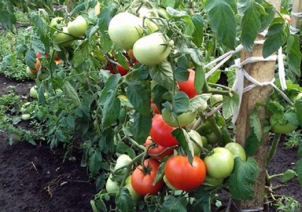 Сорт томатов Настёна