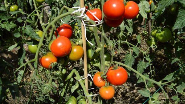 Сорт томатов Дачник