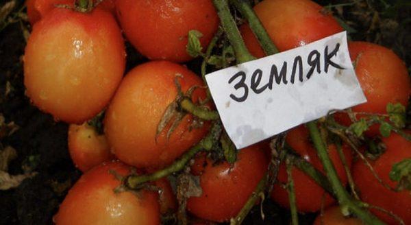 Сорт томатов Земляк