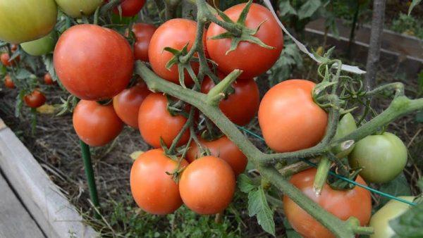 Сорт томатов Ямал 200