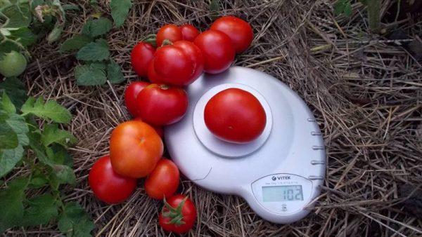 Сорт томатов Сибирский скороспелый