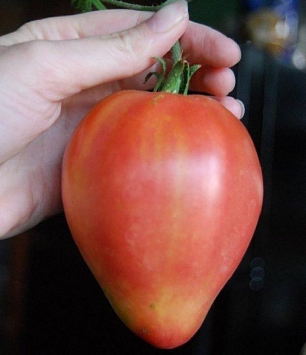 Сорт томатов Лентяйка