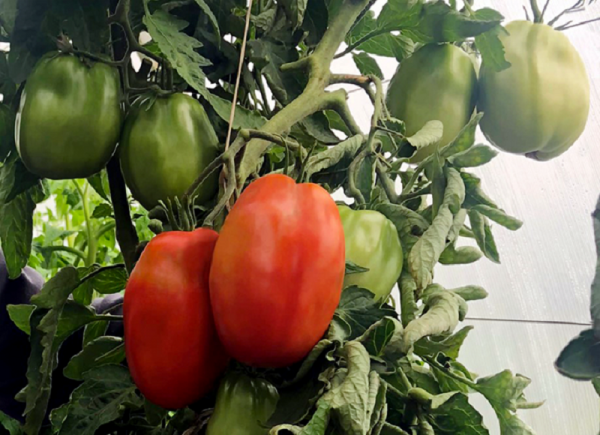 Сорт томатов Бочата