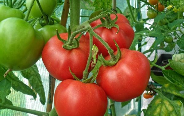 Сорт томатов Аксинья F1