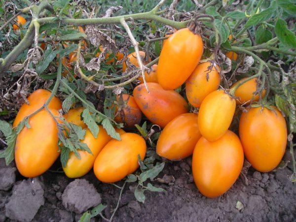 Сорт томатов Золотой поток