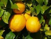 лимоны цветут