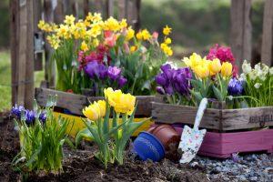 Посадка тюльпанов весной