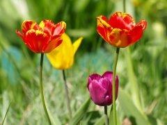 тюльпаны в мае