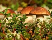 Чистка ароматных лесных грибов