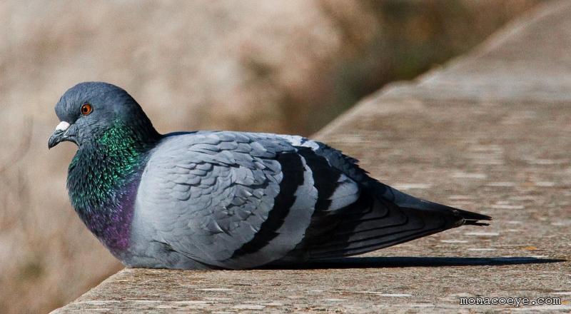 Как избавиться от голубей на балконе, крыше дома, чердаке, подоконнике и в других местах