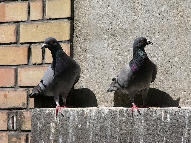 как избавиться от голубей на участке