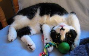 Чёрно-белый кот с игрушкой
