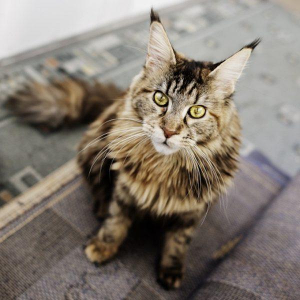 Годовалый кот