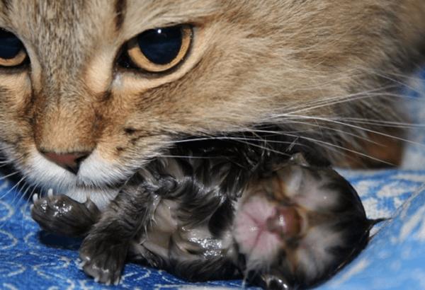 Кошка «обрабатывает» новорождённого котёнка