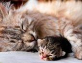 Мурлыканье кошек и котов
