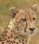 Гепард в природе