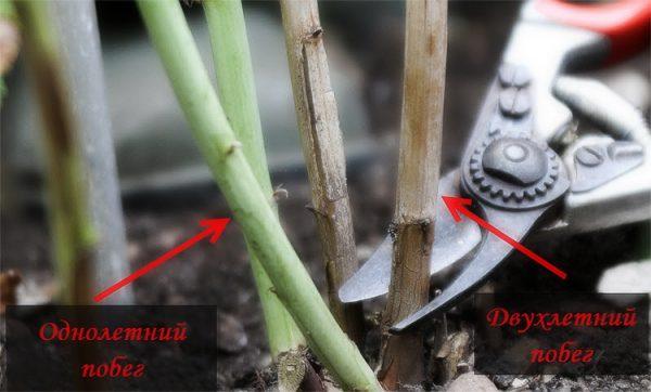 Вырезка стеблей малины