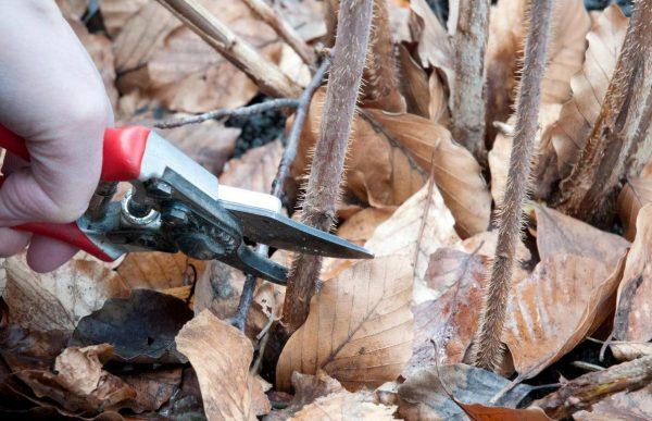 Обрезка ремонтантных сортов малины