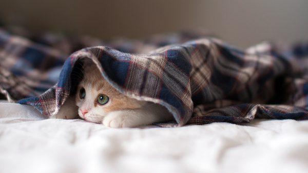 Котёнок спрятался под одеялом