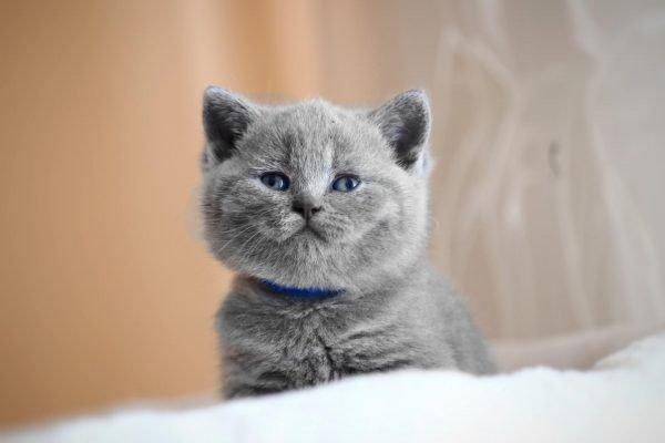 Британский котёнок улыбается