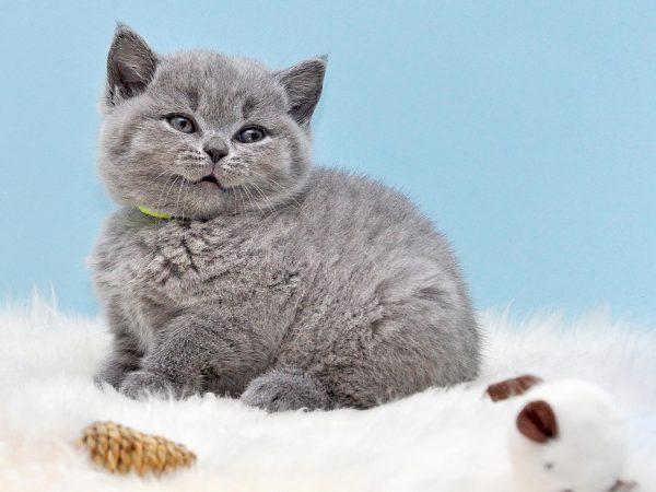 Британский котёнок на голубом фоне
