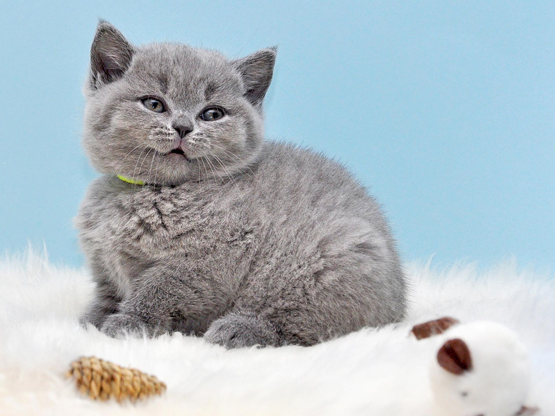 британская кошка фото котенок спасский