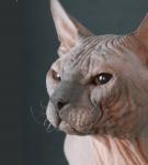 Донской сфинкс с закрученными усами