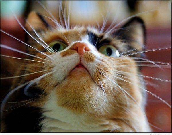 Усы кошки направлены вперёд