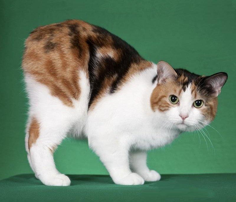 после бесхвостые кошки порода и фото предметной фотографии