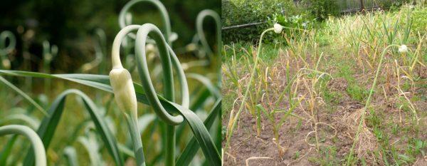 Стрелки чеснока в начале лета и перед уборкой урожая