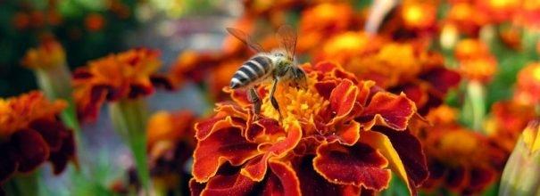 бархатцы пчела