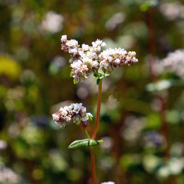 цветок гречихи