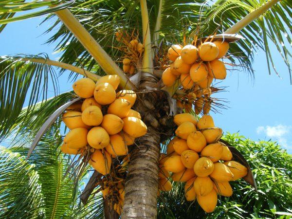 Плоды папайи на дереве