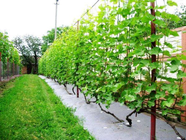 Виноград у забора