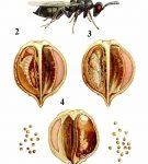 Кориандровый семяед