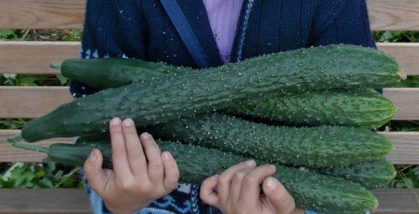 Урожай огурцов Изумрудный поток