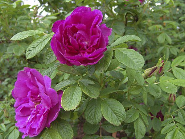 Махровая роза ругоза
