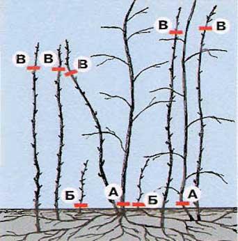 Схема обрезки малины весной