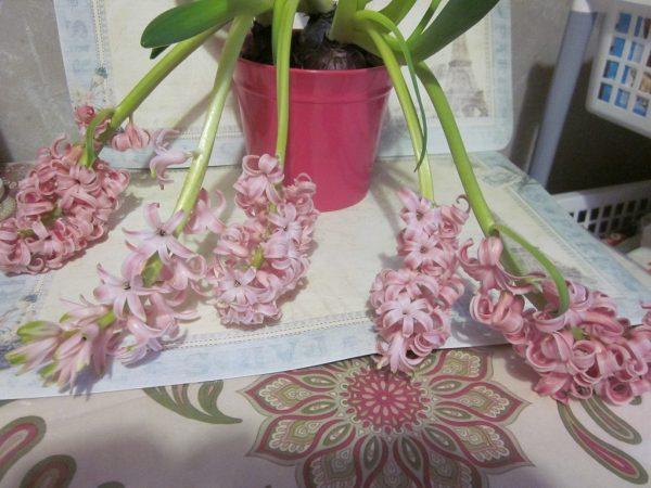 Отцветший гиацинт