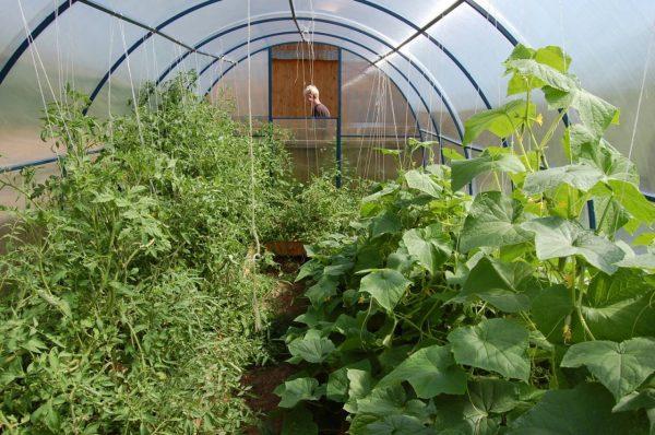 Огурец и томат в теплице
