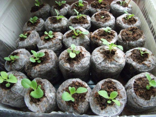 Сеянцы петунии в торфяных таблетках