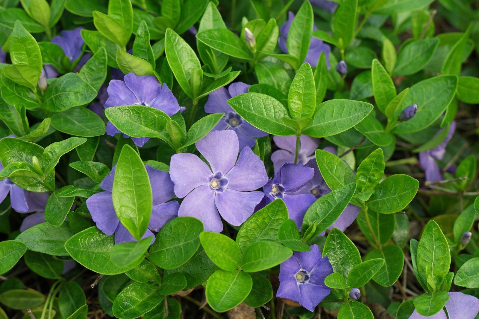 ресниц барвинок фото цветы облицовки